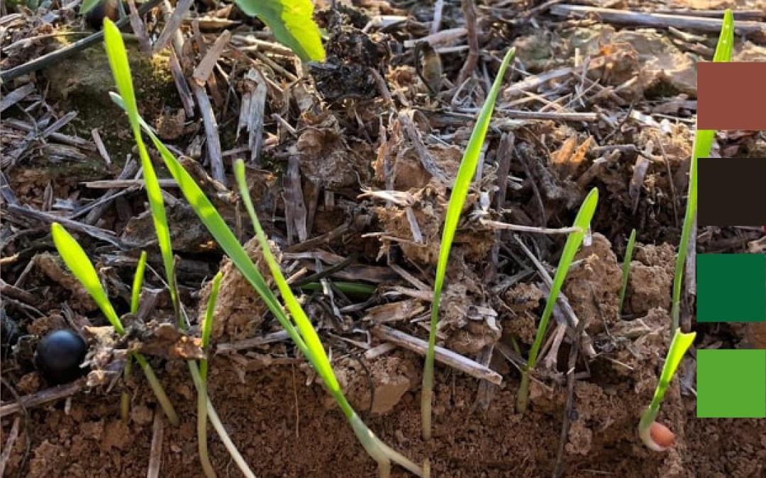 Comment implanter, fertiliser et désherber ses céréales d'automne en Agriculture de Conservation des Sols ?